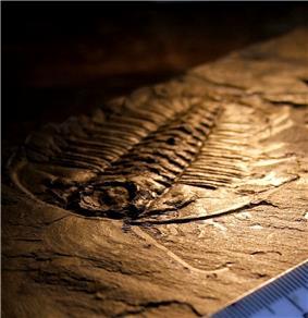 Legged trilobite