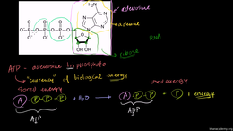 Cellular respiration : ATP: Adenosine Tr... Volume Science & Economics series by Sal Khan