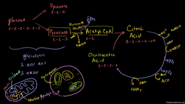 Cellular respiration : Krebs / Citric Ac... Volume Science & Economics series by Sal Khan