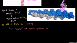 Heart Muscle Contraction : Myosin and Ac... Volume Science & Economics series by Sal Khan