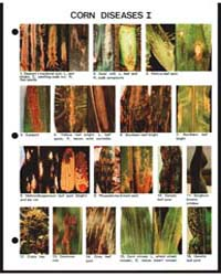 Corn Diseases I, Document E1416-80 by Michigan State University