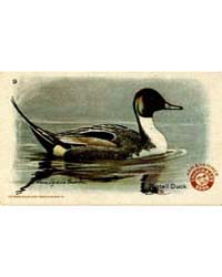 Arm & Hammer Pintail Duck Number 9, Docu... by Michigan State University