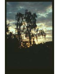 Brumfield Photographs : Birch Tree in Co... by Brumfield, William Craft