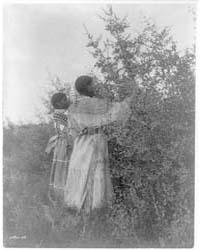 Buffalo Berry Gatherers--mandan by Curtis, Edward S.