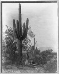 The Saguaro Harvest--pima by Curtis, Edward S.