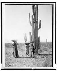 Maricopa Women Gathering Fruit from Sagu... by Curtis, Edward S.