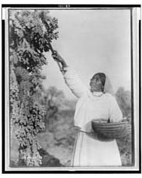 Gathering Hanamh - Papago Woman Picking ... by Curtis, Edward S.