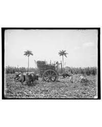 Gathering Cane on a Cuban Sugar Plantati... by Library of Congress