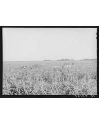 Harvesting Sweet Corn Ryken Farm, Hardin... by Library of Congress