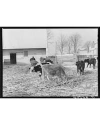 Feeding Cattle in Winter Montgomery Coun... by Library of Congress