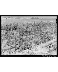 Dead Cotton Plants After the Harvest McL... by Library of Congress