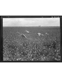 Migratory Field Workers Picking Cotton i... by Library of Congress