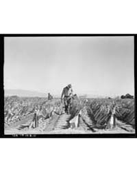 Desert Agriculture Brushed Chili Field R... by Library of Congress