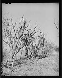 Pruning Fruit Trees Placer County, Calif... by Library of Congress
