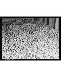 Seed Potatoes in a Storage Bin at the Wo... by Library of Congress