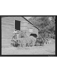 Negro Helper Putting Peavine Hay Into Ba... by Library of Congress