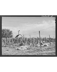 Hop Field Being Picked Yakima County, Wa... by Library of Congress