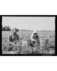 Picking Peas Yuma County, Arizona, Photo... by Library of Congress