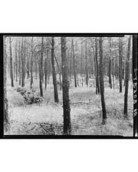 Stand of Jack Pine Black River Falls Lan... by Library of Congress