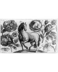 Horse, Rose, Narcissus, Etc., Photograph... by Hollar, Wenceslaus