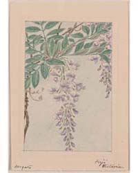Wisteria Vine with Leaves and Blossoms, ... by Library of Congress