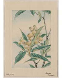Biwa Loquat, Photograph 01190V by Library of Congress