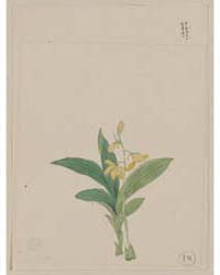 Yellow Blossoms on Stem Above Leaves of ... by Library of Congress