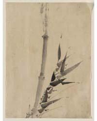 Bamboo, Photograph 02809V by Katsushika, Hokusai