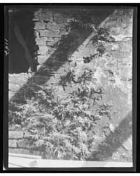 Ferns Growing in a Wall, New Orleans or ... by Genthe, Arnold