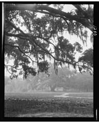 Oak Trees, New Orleans, Photograph 7A033... by Genthe, Arnold