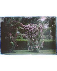 Garden with Large Flowering Bushes, Phot... by Genthe, Arnold
