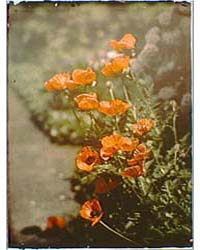 California Golden Poppies, Photograph 7A... by Genthe, Arnold