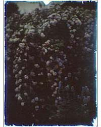 Flowering Bush, Photograph 7A17981R by Genthe, Arnold