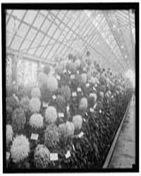 Agriculture, Department of. Chrysanthemu... by Harris & Ewing