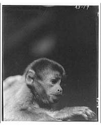 Animals. Monkey Side of Head, Photograph... by Horydczak, Theodor
