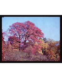 Trees. Fall Foliage Iv, Photograph 5A508... by Horydczak, Theodor