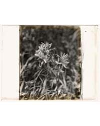 Wildflowers in Bloom, Photograph Number ... by Johnston, Frances Benjamin