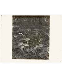 Woodl Mushrooms, Photograph Number 16714... by Johnston, Frances Benjamin