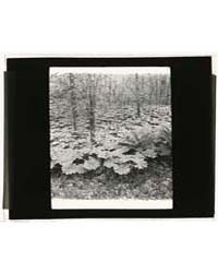 Mayapple Podophyllum, Photograph Number ... by Johnston, Frances Benjamin