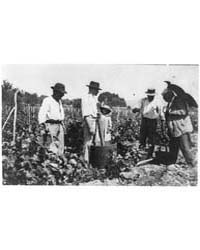 Antoine Lumiere Inspecting Grape Harvest... by Johnston, Frances Benjamin