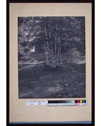 Birch Trees Along a Path, Photograph Num... by Radford, W.