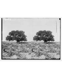 Trees and Shrubs. Sycomore Tree. Ficus S... by American Colony Jerusalem