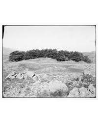 Baalbek Heliopolis, Etc. Cedars in the L... by American Colony Jerusalem