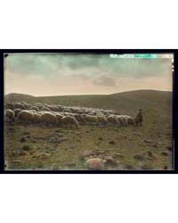 Shepherd Going Before His Flock, Photogr... by American Colony Jerusalem