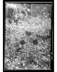 Wild Flowers of Palestine, Photograph 14... by Library of Congress