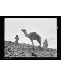 Camel, Photograph 16518V by American Colony Jerusalem