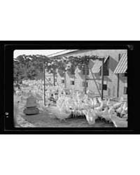 The Bethlehem Poultry Farm. Esan Safieh.... by American Colony Jerusalem