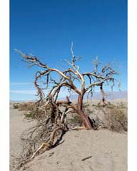 Scraggly Tree in the Sand at the Mesquit... by Highsmith, Carol M.