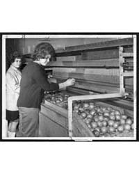 Women at Iris Fruit Corp. Sort Tomatoes ... by De Marsico, Dick